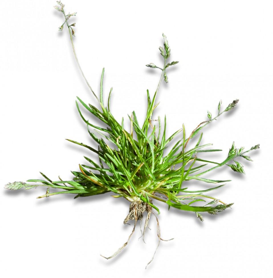 Graminées de la région yverdonnoise, en fleurs au mois d'avril