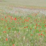 Principales graminées de la région yverdonnoise En fleurs au mois de juin