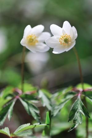 La flore sylvestre yverdonnoise, en fleurs au mois de mars